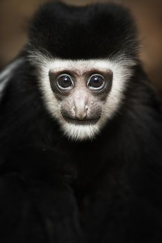 """""""black and white colobus"""" 