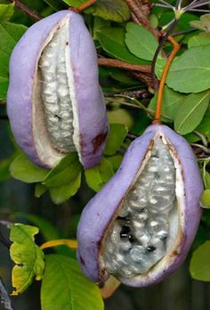 Akebia trifoliata is a cold hardy climber with fragrant blooms and sweet purple fruit. Its native to Japan Fruit Plants, Nature Plants, Fruit Garden, Fruit Trees, Trees To Plant, Purple Fruit, Colorful Fruit, Exotic Fruit, Tropical Fruits