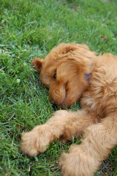Cooper, our Golden Doodle as a little pup; animal expressions