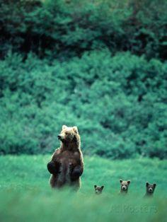 Brown Bear and Cubs, Mikfik Creek, U.S.A. Fotografiskt tryck