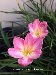 Zephyranthes Zodiac Surprise #ไม้หัวดอกสวย #บัวดิน #บัวดินที่ไม้หัวดอกสวย #บัวดินที่บ้าน #ไม้หัวดอกสวย #rainlily #lily #flower #flora