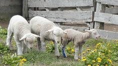 Italian Wool Exposed: Sheep Kicked, Cut, and Killed Take Action and Sign Petition