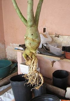 Planta pendurada, logo após completa remoção de parte apodrecidas da raíz.Foto de Sinval Desert Flowers, Desert Rose, All Flowers, Air Plants, Garden Plants, Container Gardening, Gardening Tips, Growing Orchids, Bonsai Art
