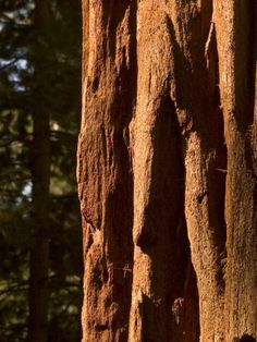 Sun Shining on the Trunk of a Giant Sequoia, Yosemite
