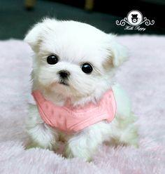 Teacup maltese! Ohhhh soooo cute.