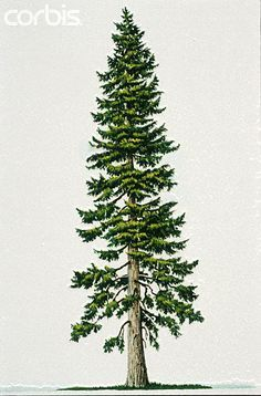 douglas fir tree drawing google search anything trees. Black Bedroom Furniture Sets. Home Design Ideas