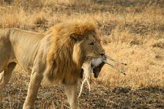 Leon cazando en Serengueti.
