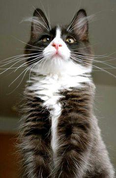 black & white kitty.