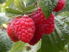 Cum să obțineți o recoltă bogată de zmeură - Perfect Ask Raspberry, Strawberry, Berries, Plants, Instagram, Ua, Gardening, Seasons, Nature