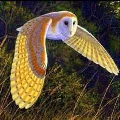 Burung Hantu Barn Owl Large Photo: This Photo was uploaded by Ajier_bucket. Find other Burung Hantu Barn Owl Large pictures and photos or upload your ow. Colorful Birds, Exotic Birds, Beautiful Owl, Animals Beautiful, Majestic Animals, Animals And Pets, Cute Animals, Owl Wings, Heart Wings