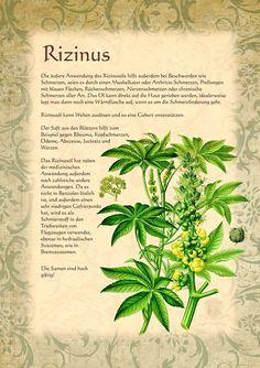 Rizinus http://www.kraeuter-verzeichnis.de/ > Ricinus communis-Risiini