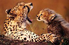 Mira estas tiernas fotos virales de una madre leopardo y su bebé   Diario Correo