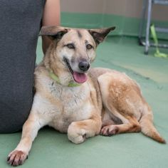 MAYA: Looking for a foster home or adopter. 8 years old, 50 lbs. Female German Shepherd mix. Good with dogs, cats, kids. Scroll to bottom of this post for contact info. From her rescuer:Maya had an owner that loved her, but was being evicted from her apartment and had to bring Maya to the local…