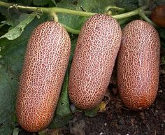 Poona Kheera Cucumber: These crazy, rust-skinned, Indian cucumbers can be eaten through all shades of maturity, green to dusty red.