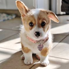 A place for all things corgi puppies. Baby Corgi, Cute Corgi Puppy, Corgi Dog, Cute Dogs And Puppies, Funny Puppies, Doggies, Puppies Tips, Corgi Funny, Cute Baby Animals