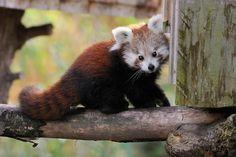 "magicalnaturetour: "" (via 500px / Curious Red Panda Baby by Josef Gelernter) """