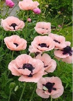 Beautiful Flowers like oriental Poppies add such a dramatic touch too the garden. this is Papaver 'Princess Victoria Louise'. Papaver Orientale, Princess Victoria, Princess Estelle, My Secret Garden, Garden Plants, Garden Art, Sun Garden, Garden Design, Dream Garden