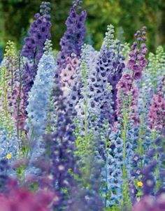 Delphinium - Hardy Perennial Plants - Spring Planting - Bulbs, plants and Cottage Patio, Cottage Garden Plants, Garden Beds, Cottage Garden Borders, Cottage Gardens, Fruit Garden, Garden Paths, Garden Landscaping, House Plants