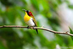 Handsome Sunbird (Aethopyga bella), Los Banos, Laguna 3.jpg