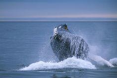 Whale by Ivan Starastin - Photo 22961955 / 500px