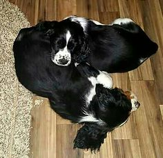 Springer Spaniels - napping