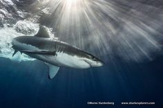 Do you like sharks? Then, check this out! http://www.sharkexplorers.com/the-dives/sharkaholic-expedition/