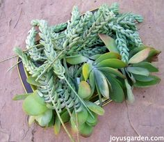 How To Care For and Propagate Sedum Morganianum aka Burro's Tail - a beautiful hanging succulent.