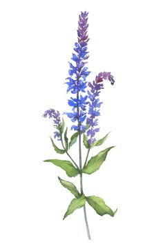 Šalvia muškátová   FUMEE Mastery Of Nature Salvia, Nature, Plants, Garden, Aromatherapy, Garten, Naturaleza, Planters, Gardening