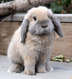 Little Holland Lop Bunny 1 Mini Lop Bunnies, Holland Lop Bunnies, Cute Baby Bunnies, Dwarf Bunnies, Lop Eared Bunny, Bunny Names, Names Baby, Rabbit Names, Fluffy Bunny