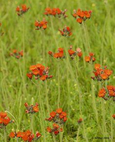 Orange Hawkweed (Hieracium aurantiacum)http://www.flickr.com/photos/rjhayphotography/2087633440/in/photostream/