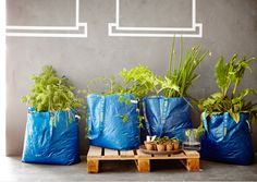 Four blue IKEA bags filled with soil and green plants.