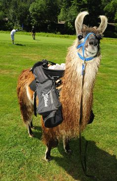 Image result for llama caddying Activities, Cool Stuff, Animals, Image, Recipes, Animaux, Animal, Animales, Animais
