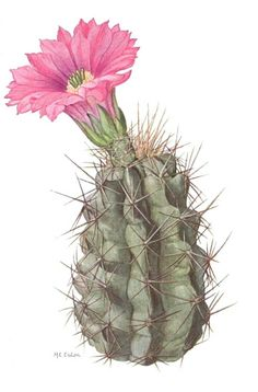 The pointed cactus watercolour wall art botanical wall artwork of cacti green large poster watercolor Cactus Decor, Cactus Art, Cactus Flower, Flower Art, Cactus Drawing, Cactus Painting, Botanical Drawings, Botanical Prints, Illustration Botanique