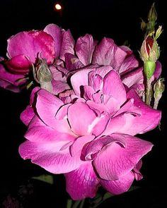 """Rose di notte"" #rose #pink #roses #flowers #plants #flowerstyles_gf #ig_flowers #captures_flowers #floweroftheday #9vaga_flowersart9 #9vaga_rose9 #la_macromini #quintaflower #_intenational_flowers_ #myheartinshots #ip_blossoms #loves_garden #gr8flowers #blossom #9vaga9 #insta_pink_blossom #lovely_flowergarden #loryandalpha #kings_flora #lory_alpha_flora  #splendid_flowers #top_flower # by simofatt_red"