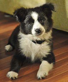 Scout the Border Collie Mix -- Puppy Breed: Australian Shepherd / Border Collie