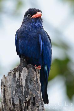 AZURE DOLLARBIRD - Eurystomus azureus . . . Also Purplr Dollarbird, Azure Roller, Purple Roller . . . Maluku Islands of Indonesia