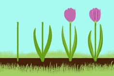 Step-by-step drawing of tulips in a row