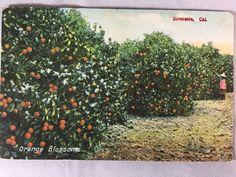 Vintage Orange Blossoms, Old Riverside, CA Citrus postcard unposted early 1900s