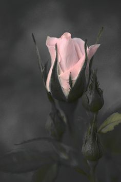 Raindrops and Roses: Photo Beautiful Roses, Pretty In Pink, Beautiful Flowers, Color Splash, Color Pop, Colour, Raindrops And Roses, Rose Wallpaper, Love Rose