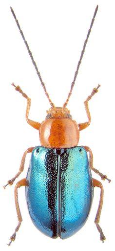 Beetle, Cneorama violaceipennis, K.V. Makarov