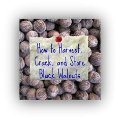 Harvesting, Cracking, and Storing Black Walnuts. For seed giveaways, daily tips and plant info, come join us on facebook! https://www.facebook.com/thegardengeeks
