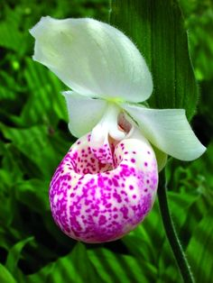 Hardy Ladyslipper Orchid for sale buy Cypripedium 'Ulla Silkens'
