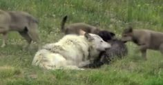The wolves of Yellowstone National Park were introduced back into the park in 1995. What they did while they were there was incredible.