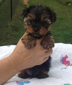 Beautiful CKC Yorkie Puppies