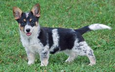 Corgi heeler cross puppy, next dog!