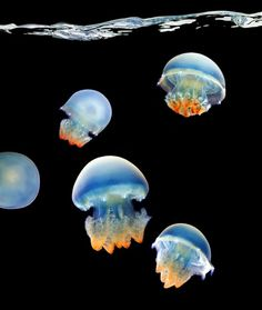 "Blue Blubber Jellyfish from ""Sea"": Mark Laita's breathtaking photos of sea creatures.I love jellyfish! Under The Water, Under The Sea, Underwater Creatures, Underwater Life, Underwater Drawing, Underwater Pictures, Sea Photography, Underwater Photography, Photography Office"