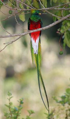 Male Resplendent Quetzal (Pharomachrus mocinno) in an Aguacatillo or Wild Avocado (Persea sp.) tree