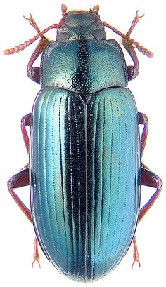 Metaclysa viridis Men. Beetle Insect, Beetle Bug, Insect Art, Beautiful Bugs, Beautiful Butterflies, Especie Animal, Preschool Art Activities, Spider Art, Cool Bugs