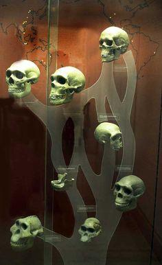 Skull Tree: Australopithicus; Homo Erectus; Homo Sapiens; Homo Neanderthal.