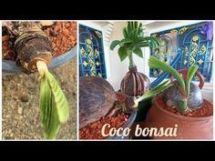 The reason why I cut the leaf becasue I want it to grow short in the future. As the result of my another video it is clearly that when the some of the leaf c. Bonsai Fruit Tree, Bonsai Art, Fruit Trees, Plastic Pots, Coconut, Garden, Tips, Plants, Youtube